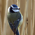 Blue Tit On Reed by Bob Kemp