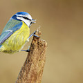 Blue Tit Perched by Chris Smith