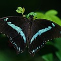 Blue Triangle Butterfly by Kristina Jones