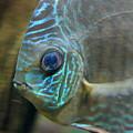 Blue Tropical Fish by Carol Groenen