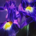 Blue Velvet by Gabriella Weninger - David