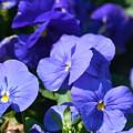 Blue Violets by Maria Urso