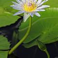 Blue Water Lily by Jennifer Robin