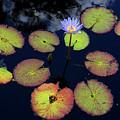 Blue Water Lily by Lucio Cicuto