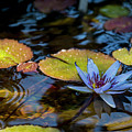 Blue Water Lily Pond by Brian Harig