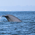 Blue Whale Tail Flop by Suzanne Luft
