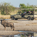 Blue Wildebeest Beside Puddle With Jeep Behind by Ndp