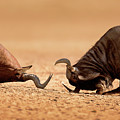 Blue Wildebeest Sparring With Red Hartebeest by Johan Swanepoel