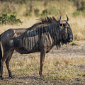Blue Wildebeest Standing On Savannah Staring Ahead by Ndp