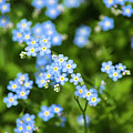 Blue Wildflowers Forget Me Nots by Christina Rollo