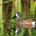 Blue-winged Teal by Mike Fitzgerald