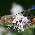 Blue-winged Wasp On Mint by Dawn Zemaitis