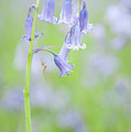 Bluebell And Spider IIi by Helen Northcott