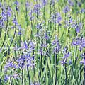 Bluebell Bluebells Flowers Blooming In Spring by Monika Tymanowska
