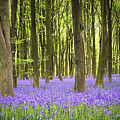 Bluebell Carpet by Jane Rix
