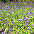 Bluebell Carpet by Tony Murtagh