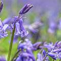 Bluebell Closeup by Framing Places