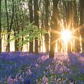 Bluebell Dawn by Chris Deeney