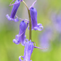 Bluebell Portrait by Framing Places