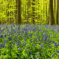 Bluebell Wood by Brothers Beerens