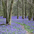 Bluebell Wood Effingham Surrey Uk by Julia Gavin