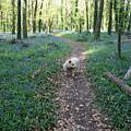 Bluebell Wood by John Quinn