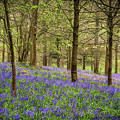 Bluebell Woodland by Framing Places