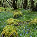Bluebell Woods by Francesca Winspeare