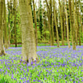 Bluebell Woods Panorama by Colin Rayner