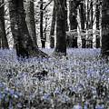 Bluebell Woods Xv by Helen Northcott