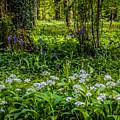 Bluebells And Wild Garlic At Coole Park by James Truett