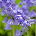 Bluebells by Chris Coffee