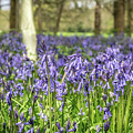 Bluebells by Framing Places