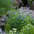 Bluebells by Heather Coen