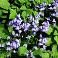 Bluebells Hiding Their Beauty In A Hedgerow by Brenda Kean