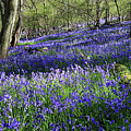 Bluebells by Julian Perry