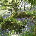 Bluebells On Dartmoor by Quintin Rayer