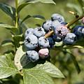Blueberries On Blueberry Bush by Tim Laman