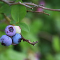 Blueberries On The Vine 4 by Cathy Lindsey