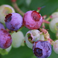 Blueberries On The Vine 5 by Cathy Lindsey