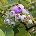 Blueberries On The Vine 7 by Cathy Lindsey