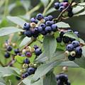 Blueberry Bounty by Walter Stankiewicz