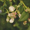 Blueberry Bush by Cassandra Buckley
