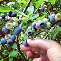 Blueberry Bush by Claire Kenney
