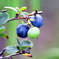 Blueberry by Edward Nekrasov