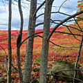 Blueberry Field Through The Wall - Cropped by John Meader