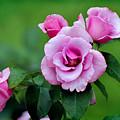 Blueberry Hill Roses by Karen Adams