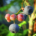 Blueberry Morning by Randall Tosch