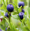 Blueberry Shrubs by Michal Boubin