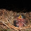 Bluebird Babies by Marie Hicks